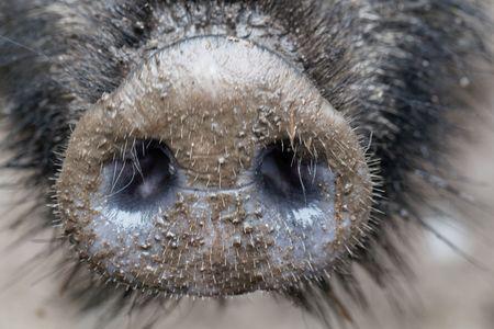 Nose of a wild boar (Sus scrofa) Banco de Imagens