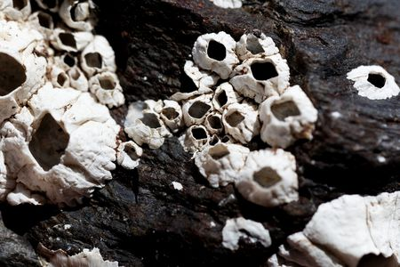 White shells of barnacles on a black rock surface.