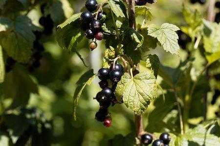 Fruits of a black currant (Ribes nigrum) on a bush.