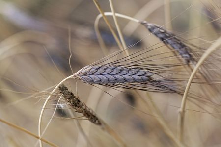 A spike of black emmer wheat (Triticum dicoccon var. atratum), an old variation of emmer.