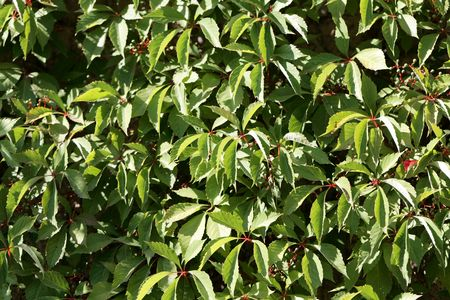 Leaves of a Virginia creeper (Parthenocissus quinquefolia), as background or texture.