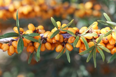 Berries of a common sea buckthorn (Hippophae rhamnoides) on a bush.