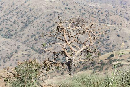 Sudanese frankincense tree (Boswellia papyrifera) in the Ethiopian mountains. Stock Photo