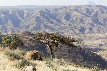 Sudanese frankincense tree (Boswellia papyrifera) in the Ethiopian mountains. Stock Photo