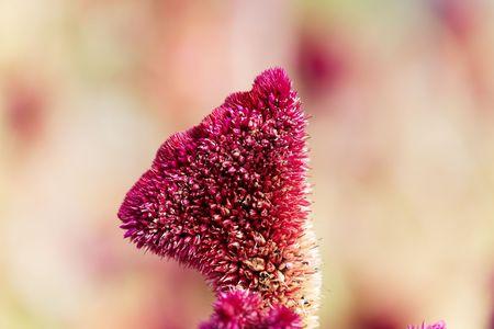 Flower of a red plumed cockscomb (Celosia argentea var. cristata)