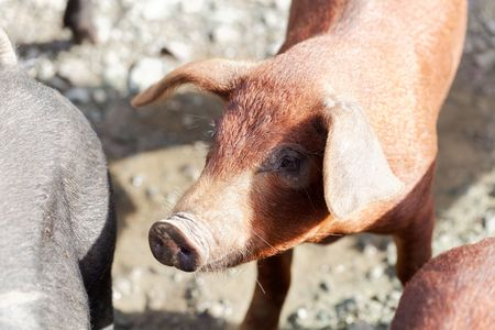 Portrait of a young brown pig at a pig farm. Stock fotó