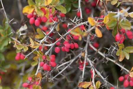 Berries of Berberis aetnensis, a berberis species from the Mediterranean region. 免版税图像