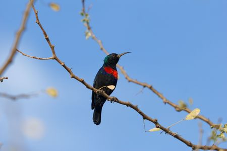 A Scarlet-chested Sunbird (Chalcomitra senegalensis) on a branch.