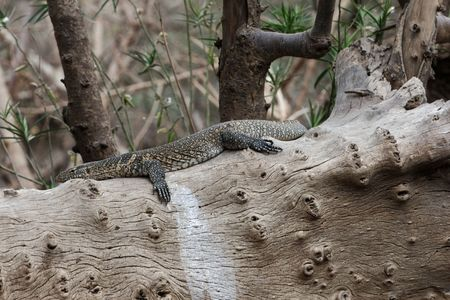 Nile Monitor (Varanus niloticus) on a trunk at the Awash National Park in Ethiopia.