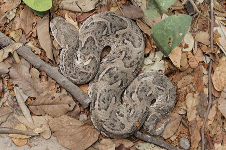 Puff adder (Bitis arietans) on dry leaves of a forest floor.