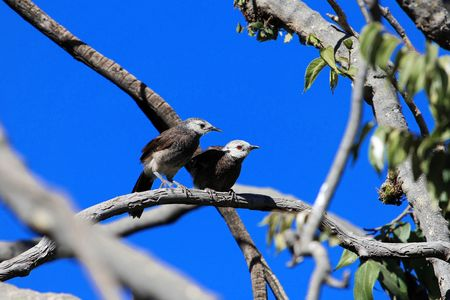 A pair of White rumped babblers (Turdoides hypoleuca) on a brunch, in Ethiopia.