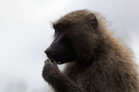Face of an Olive Baboon (Papio anubis) in Ethiopia. Stock Photo