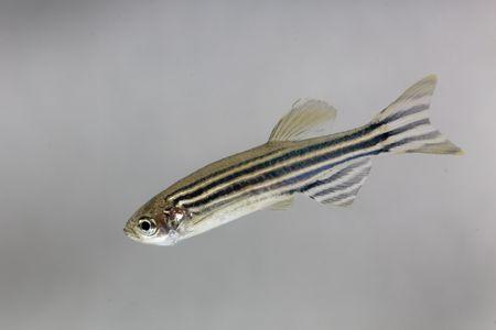 Fotografía macro de un pez cebra (Danio rerio) con un fondo blanco.