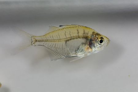 Indian glassy fish (paranoid ranga) with a white background. 版權商用圖片