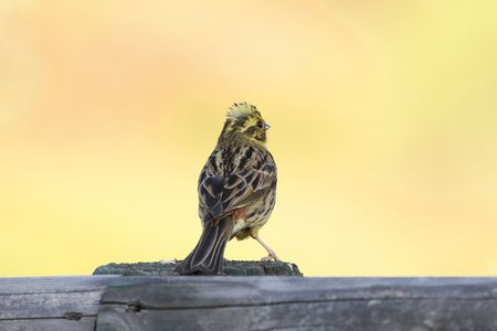 A yellowhammer (Emberiza citrinella) on a wood fence with a yellow background.