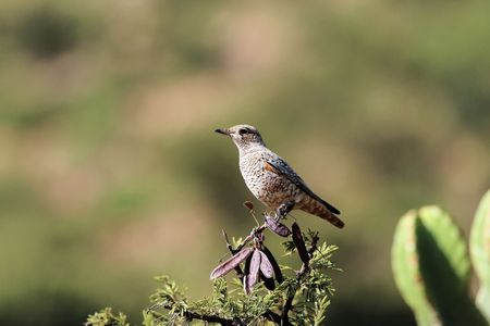 A juvenile Diederik cuckoo (Chrysococcyx caprius) on a branch.