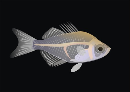 Illustration of an Indian glassy fish (paranoid ranga) with a black background.