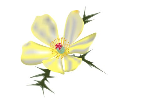 Illustration of a mexican prickly poppy (Argemone mexicana) flower.