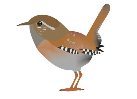 Illustration of a Eurasian wren, Troglodytes troglodytes, with a white background. Stock Photo