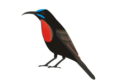 Illustration of a scarlet-chested sunbird (Chalcomitra senegalensis) with a white background. Stock Photo