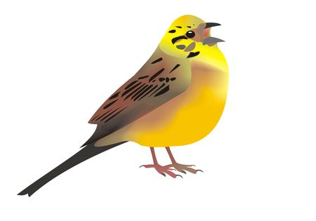 Illustration of a singing yellowhammer (Emberiza citrinella)
