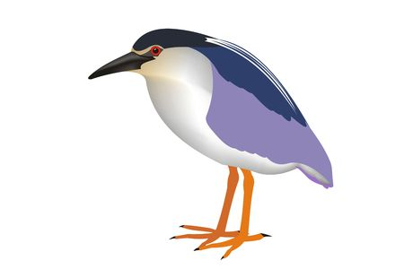 Illustration of a black-crowned night heron (Nycticorax nycticorax) with white background.