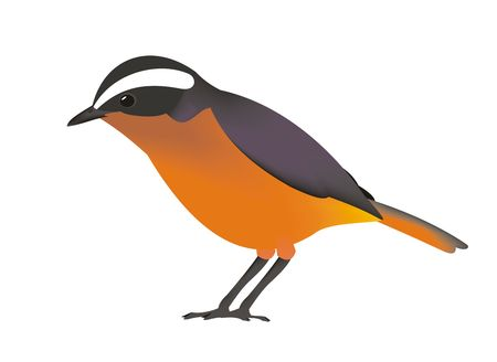 Illustration of a Rueppells robin-chat (Cossypha semirufa)
