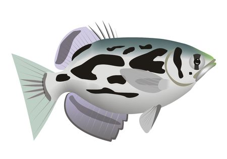 Illustration of a clouded archerfish (Toxotes blythii) with a white background.