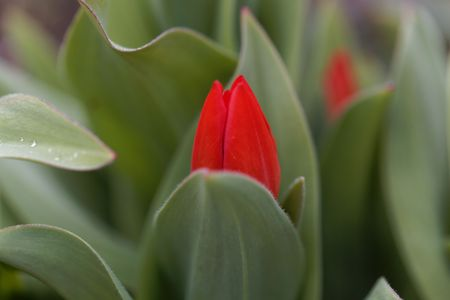 Tulipa praestans, a wild tulip from central Asia. Stock Photo