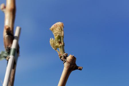 Fresh bud of common grape vine, Vitis vinifera.