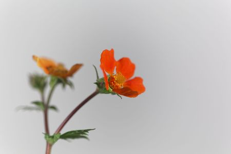 Flower of a dwarf orange avens, Geum coccineum.