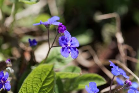 Flower of a creeping navelwort, Omphalodes verna. Stock Photo