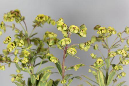 Flowers of the garden Euphorbia Euphorbia x martini.