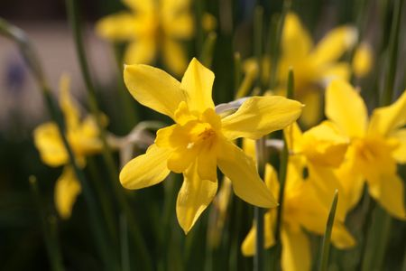 Flower of a Campernell Jonquille, Narcissus x odorus. Banque d'images - 120609616