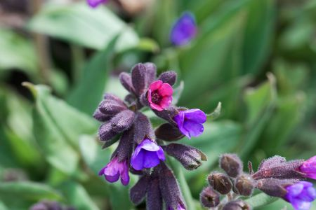 Flowers of the lungwort, Pulmonaria montana, from Eastern Europe. Stock Photo