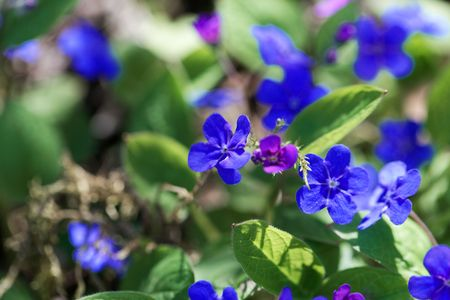 Flower of a creeping navelwort, Omphalodes verna.