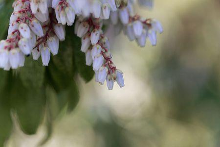 Kwiaty japońskiego krzewu andromedy, Pieris japonica.