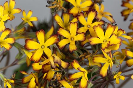 Macro photo of Oakleaf primula flowers, Primula vulgaris.