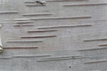 Macro photo of a birch tree bark as background.