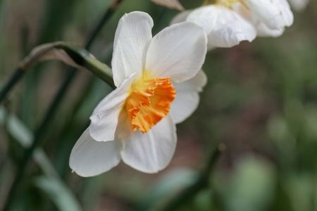 Blossom of the small cupped narcissus sort Barret Browning