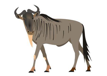 Illustration of a Blue wildebeest, Connochaetes taurinus