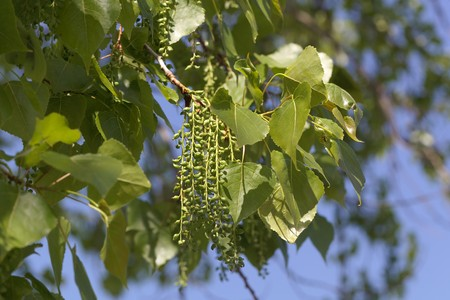 Leaves and fruits of a Canadian poplar tree (Populus x canadensis) 写真素材