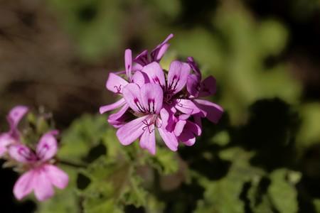 Flower of a citronella  pelargonium,  Pelargonium citriodorum