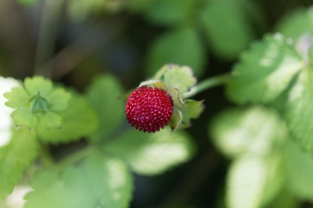 Fruit of a mock strawberry, Duchesnea indica.
