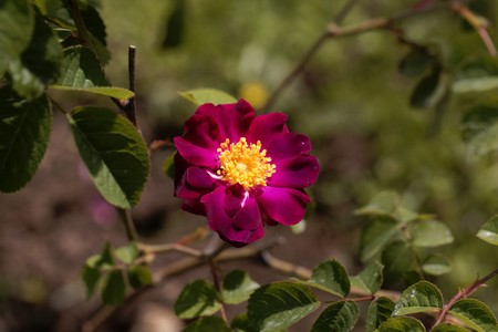 Flower of a purble Rosa violacea, a cultivated form of  Rosa gallica. 免版税图像