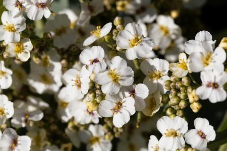Flowers of a crambe plant, Crambe maritima.