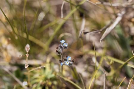 Flower of an early forget-me-not, Myosotis ramosissima, in a meadow. Zdjęcie Seryjne