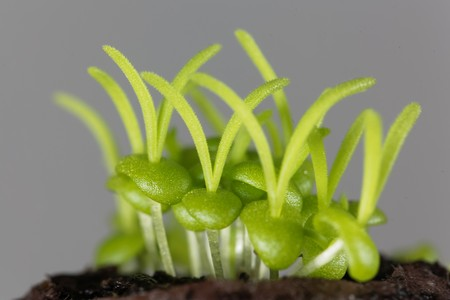 Seedlings of Delosperma bosseranum, a succulent plant. Stock Photo - 123362699