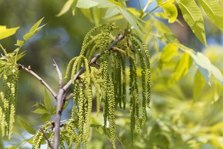 Flowers of a pecan tree , Carya illinoinensis. Stock Photo - 123362700