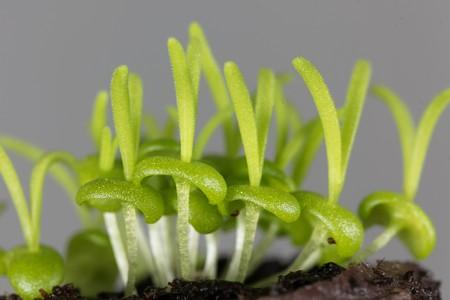 Seedlings of Delosperma bosseranum, a succulent plant.